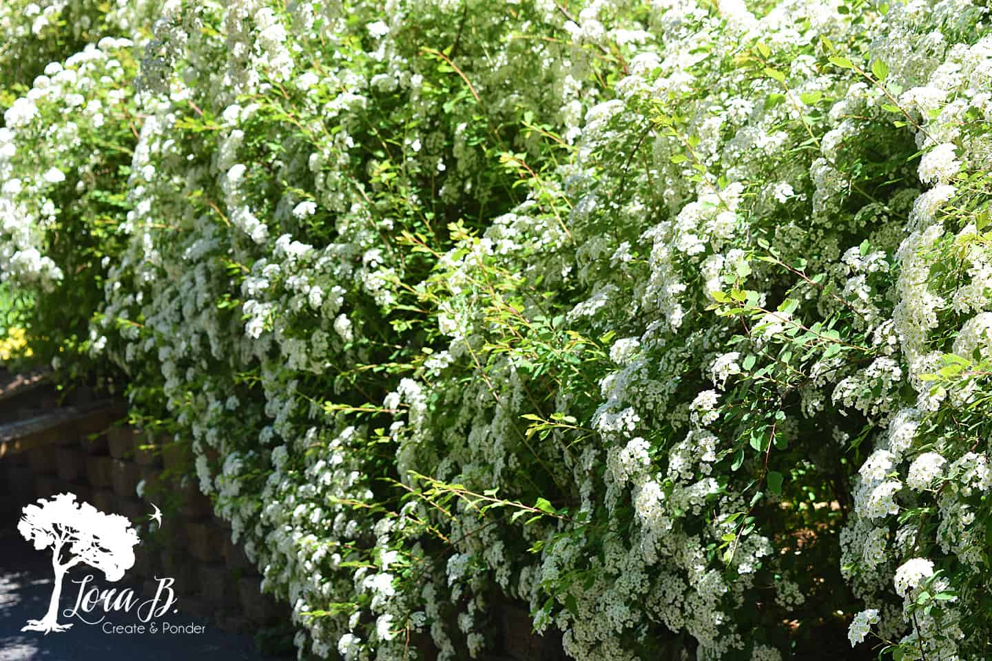 Bridal veil spirea in full bloom