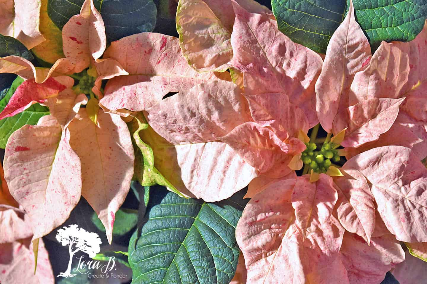 Pink Poinsettias.