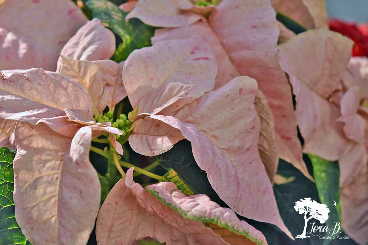 Blush-colored Poinsettia