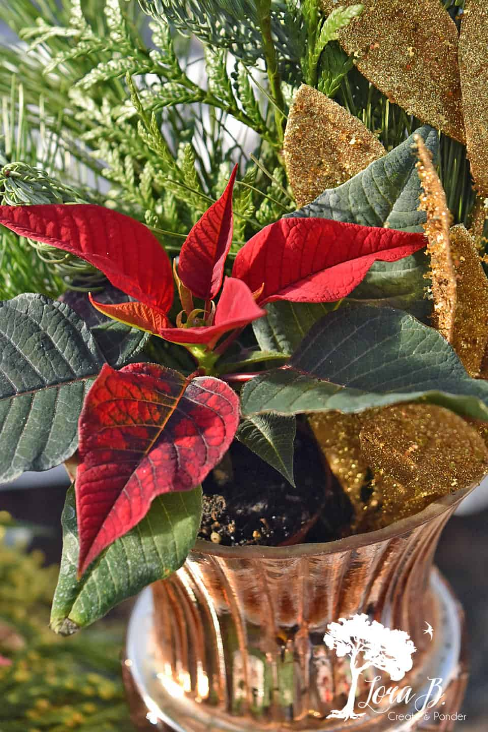 Poinsettias in gold container.