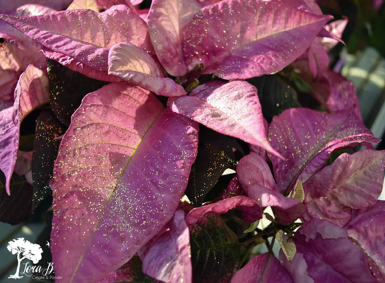 Pink Fantasy painted Poinsettia
