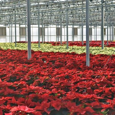 Bachman's Poinsettia Greenhouse Tour