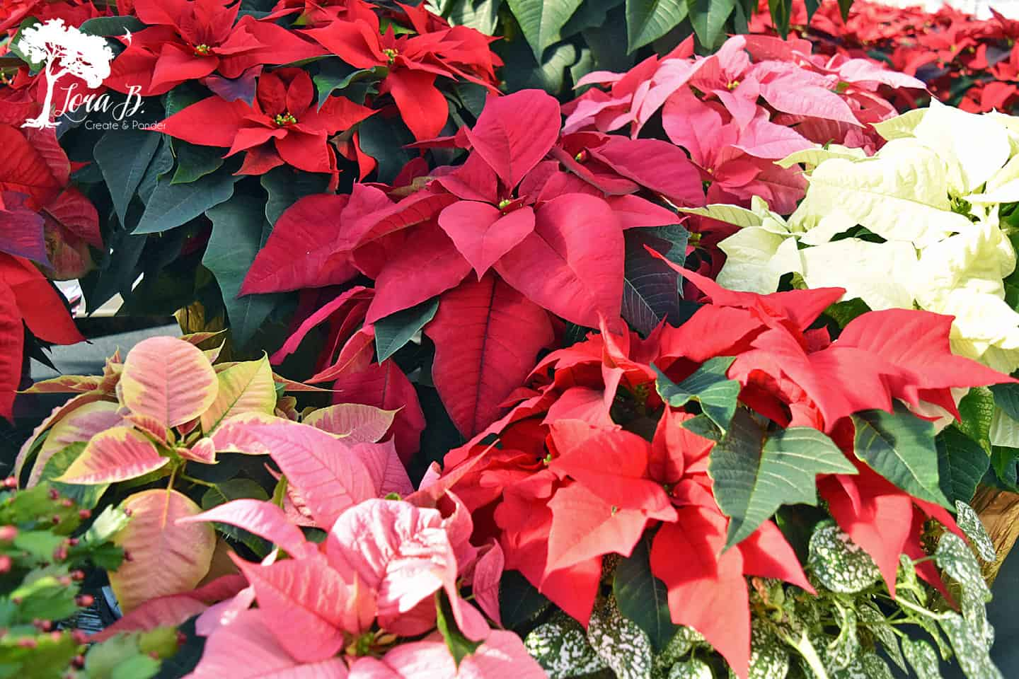 Poinsettia varieties.
