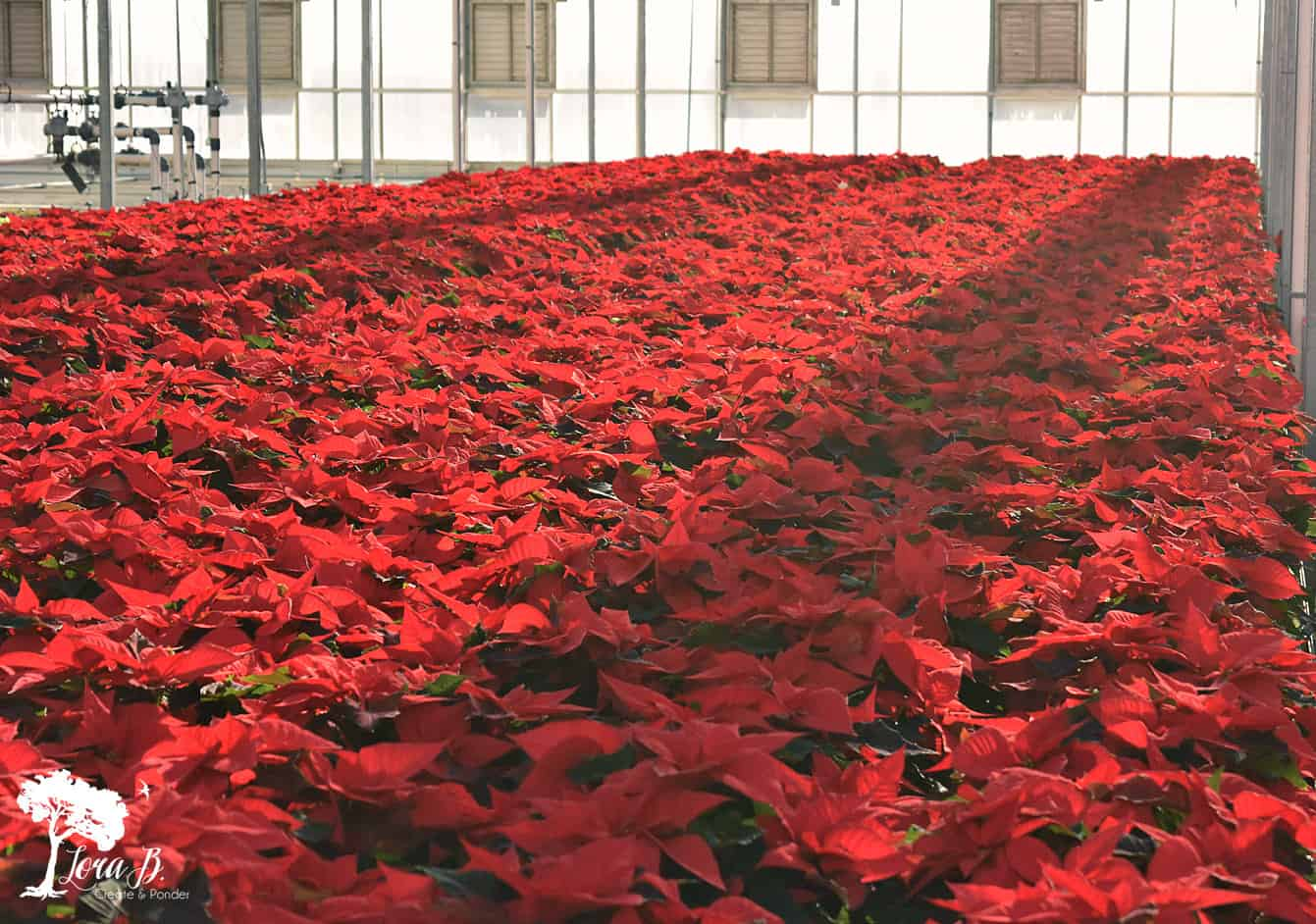 Red Poinsettias in greenhouse.