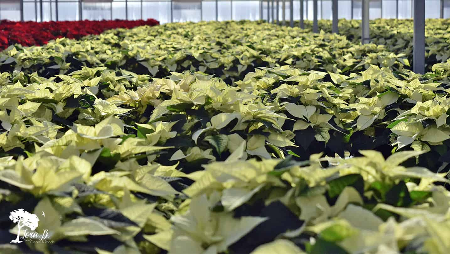 White poinsettias in greenhouse