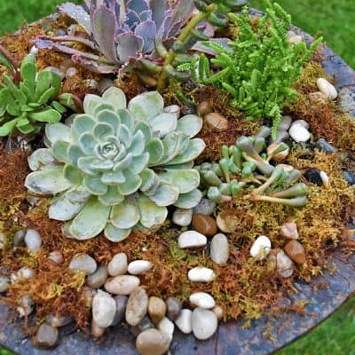 Re-purposed Birdbath as Succulent Planter