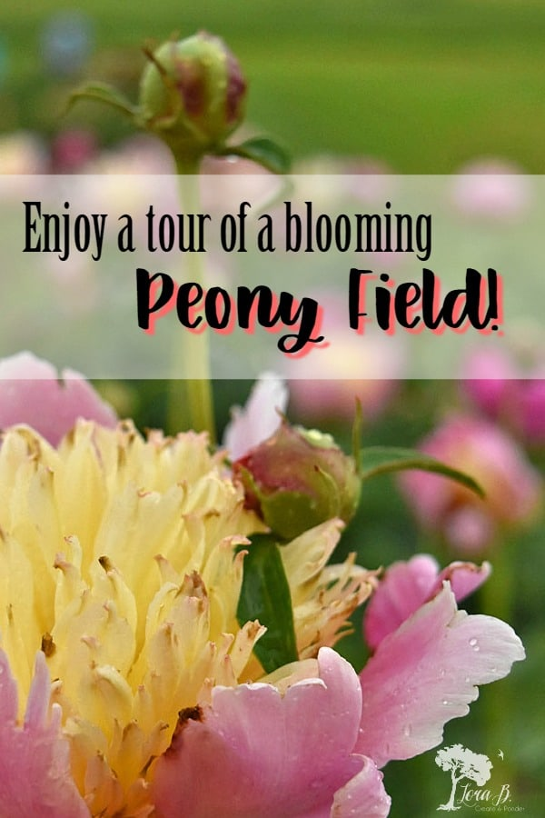 Experience a peony grower's field in full bloom with this photographic treat! Raindrops on fully opened blooms and acres of unusual varieties of peonies! #gardentour #gardenfieldtour #peonies #flowers #flowerphotography